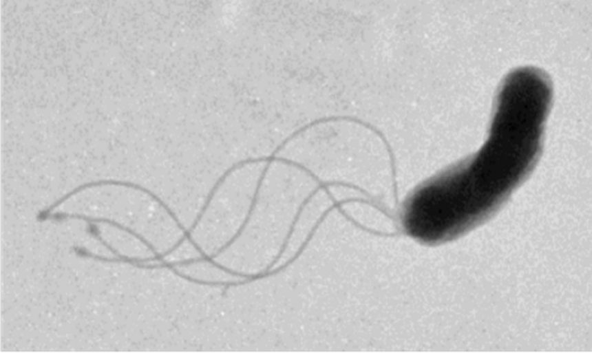 Figure 1. Transmission electron microscopy (TEM) image of a wild-type H. pylori cell. The cluster of flagella at one of the cell poles.  Image taken by Dr. Jennifer Tsang in the Hoover lab.